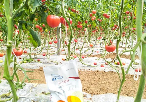 暖棚番茄施肥全优营养方案-采法特篇