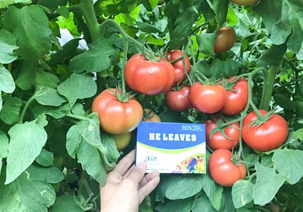 番茄冲施肥的施肥方案-沃叶篇