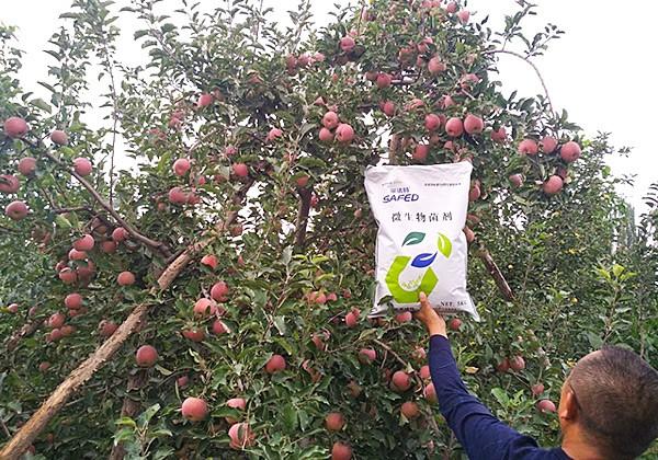 苹果树施肥方案-采法特篇