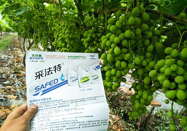 葡萄施肥方案-采法特篇