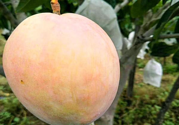 芒果施肥全优营养方案-沃叶篇
