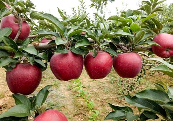 苹果果树叶面肥高产施肥方案-沃叶篇