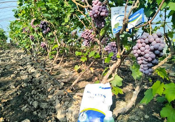 葡萄专用肥施肥方案-沃叶篇