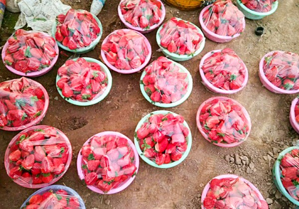草莓叶面肥施肥方案-沃叶篇