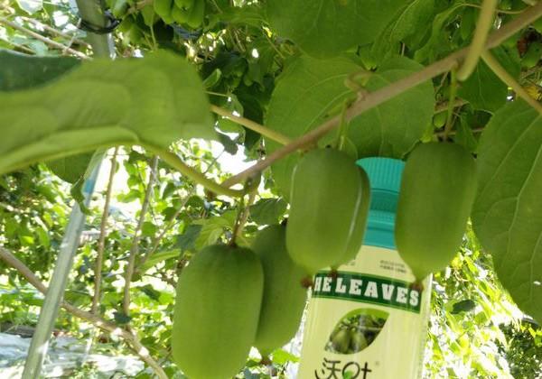软枣叶面肥施肥方案-沃叶篇