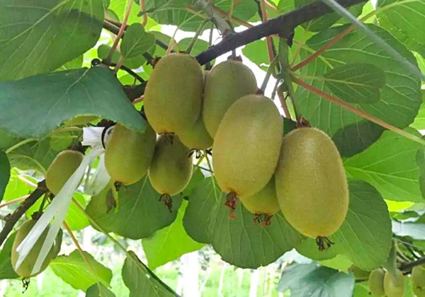 猕猴桃专用肥施肥方案-沃叶篇