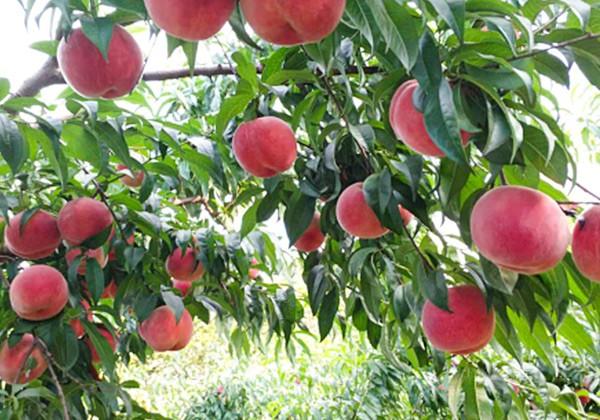 桃树专用肥施肥方案-沃叶篇