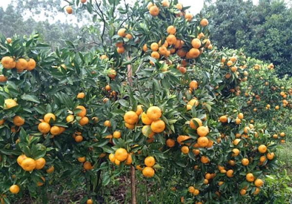 柑橘叶面肥小苗施肥方案-沃叶篇