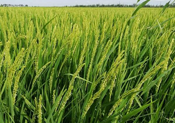 水稻施肥方法和用量-采法特篇